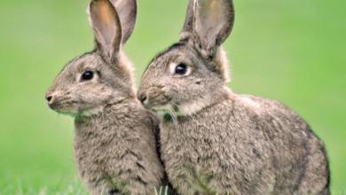 أسعار الأرانب